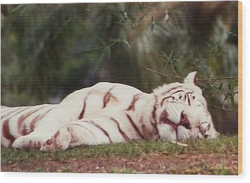 Sleeping White Snow Tiger Wood Print by Belinda Lee