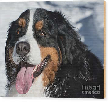 Smiling Bernese Mountain Dog In Winter Snow Wood Print by Gary Whitton