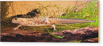 Smooth Or Common Newt  Wood Print by Dirk Ercken