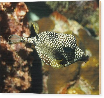 Smooth Trunkfish Wood Print by Amy McDaniel