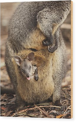 Sneezing Wallaby Wood Print by Craig Dingle