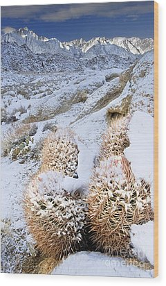 Wood Print featuring the photograph Snow Covered Cactus Below Mount Whitney Eastern Sierras by Dave Welling