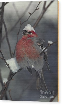 Snow Covered Pine Grosbeak Wood Print by Stephen J Krasemann