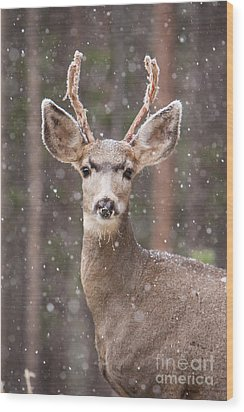 Snow Deer 1 Wood Print