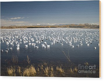 Snow Geese - Bosque Del Apache Wood Print