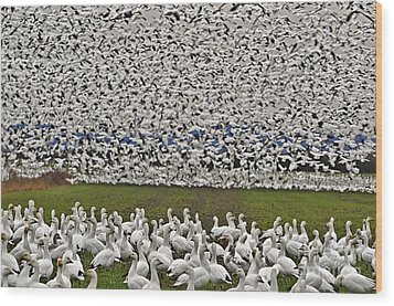 Snow Geese By The Thousands Wood Print by Valerie Garner