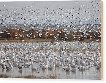 Snow Geese No.4 Wood Print