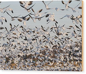 Snow Geese Takeoff From Farmers Corn Field. Wood Print by Allan Levin