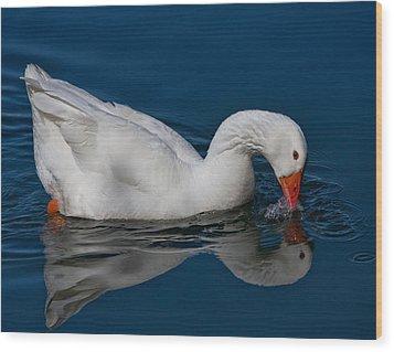 Snow Goose Reflected Wood Print by John Haldane