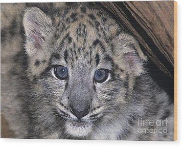Snow Leopard Cub Endangered Wood Print