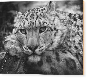 Snow Leopard In Black And White Wood Print