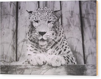 Wood Print featuring the photograph White Snow Leopard Chillin by Belinda Lee