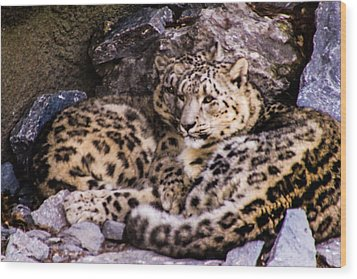 Wood Print featuring the photograph Snow Leopards by Cathy Donohoue