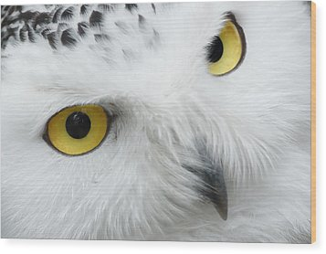 Snow Owl Eyes Wood Print