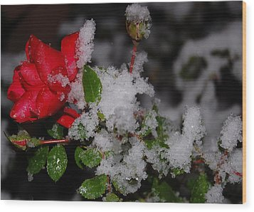 Snow Rose Wood Print by Mim White