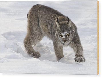 Snow-shovelling Lynx Wood Print by Dee Cresswell
