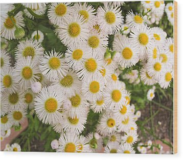 Snow White Asters Wood Print by Allan Levin