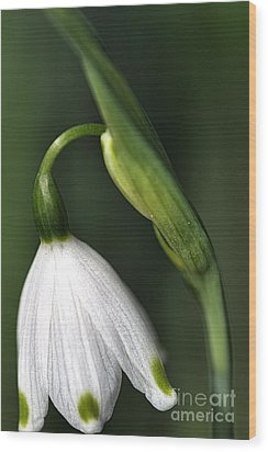 Wood Print featuring the photograph Snowdrop by Joy Watson
