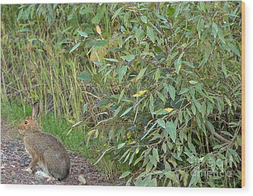 Snowshoe Hare In Montana Wood Print by Natural Focal Point Photography