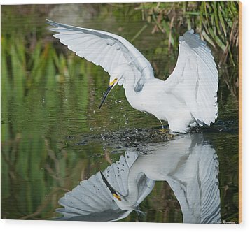 Snowy Egret Wood Print by Avian Resources