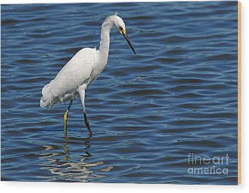 Wood Print featuring the photograph Snowy Egret Foraging by Olivia Hardwicke