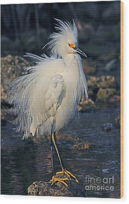 Snowy Egret Show Off Wood Print by Larry Nieland