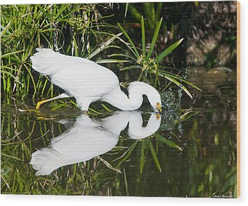Snowy Egret With Reflection Wood Print by Avian Resources
