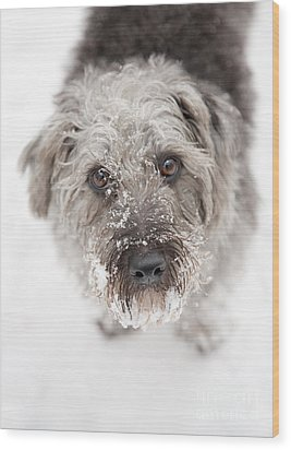 Snowy Faced Pup Wood Print by Natalie Kinnear