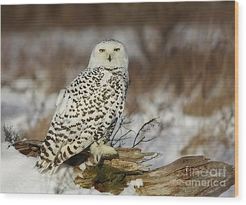 Snowy Owl At Sunset Wood Print by Inspired Nature Photography Fine Art Photography