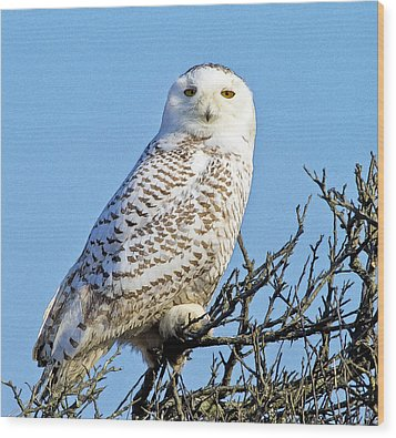 Wood Print featuring the photograph Snowy Owl by Constantine Gregory