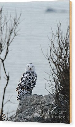 Snowy Owl II Wood Print