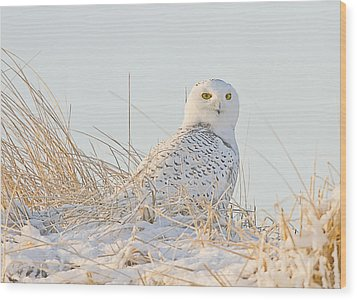 Snowy Owl In The Snow Covered Dunes Wood Print by John Vose