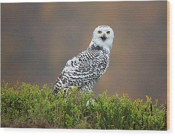 Snowy Owl Wood Print by Milan Zygmunt