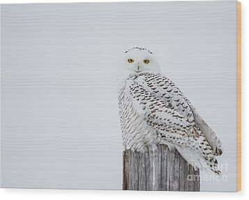 Snowy Owl Perfection Wood Print