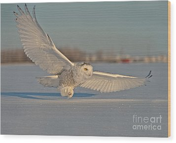 Snowy Owl Pictures 7 Wood Print by Michael Cummings
