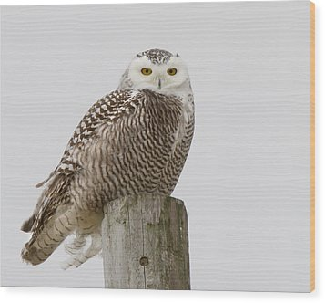 Snowy Owl Wood Print by Timothy McIntyre