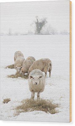 Snowy Sheep Wood Print by Anne Gilbert