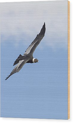 Soaring Condor Wood Print by Tim Grams