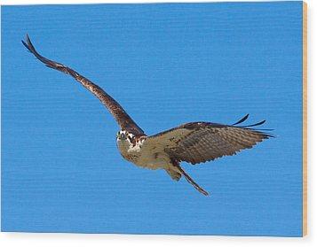 Soaring Osprey Wood Print by Adam Pender