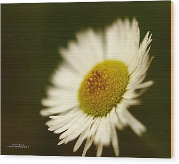 Soft Lighted Daisy Wood Print by Alexandra  Rampolla