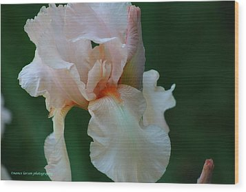 Soft Peach Iris Wood Print