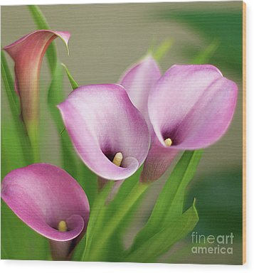 Wood Print featuring the photograph Soft Pink Calla Lilies by Byron Varvarigos
