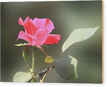 Soft Tender Old Fashioned Rose Wood Print by Linda Phelps