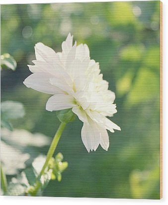Soft White Dahlias Wood Print by Cathie Tyler