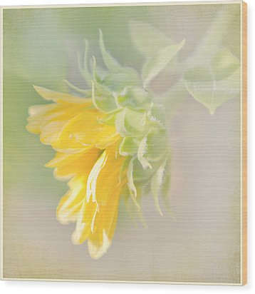 Soft Yellow Sunflower Just Starting To Bloom Wood Print