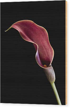 Solitary Calla  Wood Print by Jean Noren