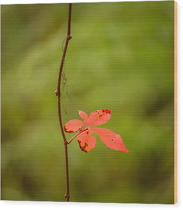 Solitary Red Leaf Wood Print