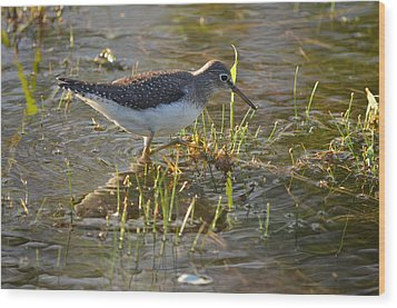 Solitary Sandpiper 2 Wood Print by James Petersen