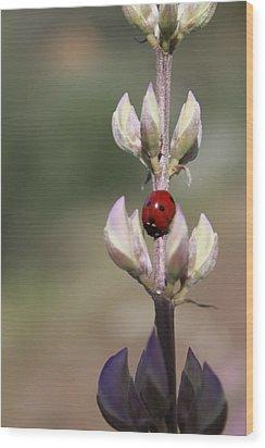 Solo Ladybug Wood Print by Ashley Balkan