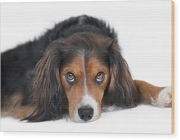 Soulful Black Tan And White Pup Wood Print by Natalie Kinnear